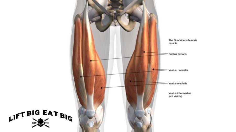 Anatomy Quadriceps