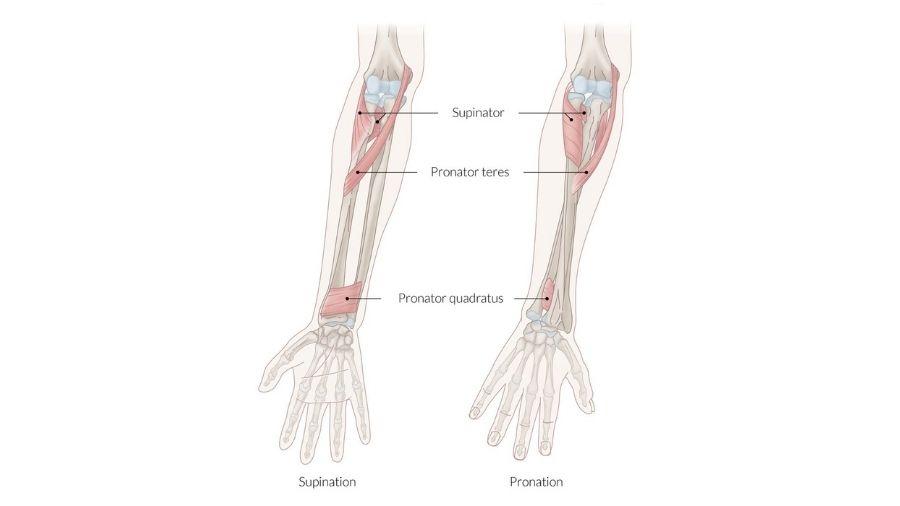 Forearm Pronators