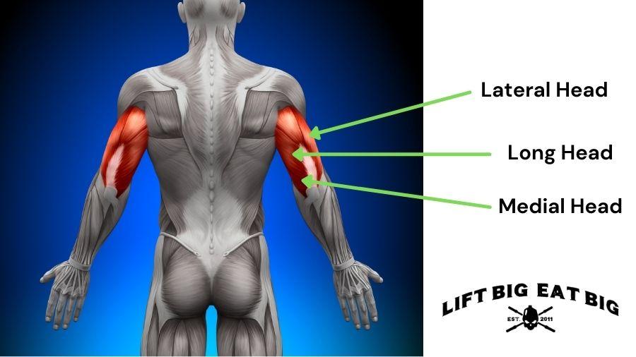 Anatomy Triceps